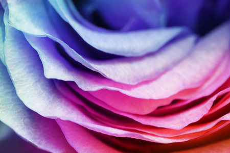 Macro of rose petals with tone effects: floral background