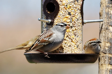 Photo pour White-crowned sparrow, Zonotrichia leucophrys and chipping sparrow, Spizella passerina, sharing a bird feeder - image libre de droit