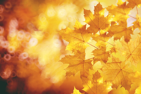 Photo pour Fall, autumn, leaves backgroung. A tree branch with autumn leaves of a maple on a blurred background - image libre de droit