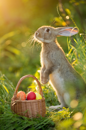 Photo for Easter bunny with a basket of eggs. Happy Easter Bunny on a card on their hind legs with flowers at sunset. Cute hare - Royalty Free Image
