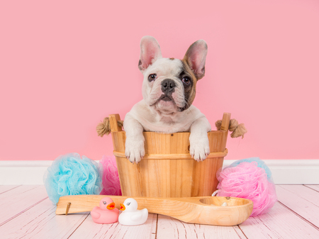 Photo pour Cute french bulldog puppy in a wooden sauna bucket in a pink bathroom setting facing the camera - image libre de droit