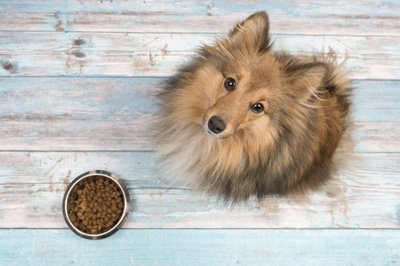Photo pour Adult shetland sheepdog seen from above looking up with full feeding bowl in front of her on a blue wooden floor - image libre de droit
