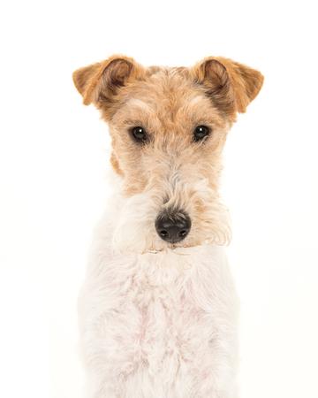 Photo pour Adult fox terrier dog portrait isolated on a white background - image libre de droit