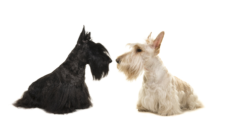 Photo pour White an black scottish terrier seen from the side sniffing out eachother on a white background - image libre de droit