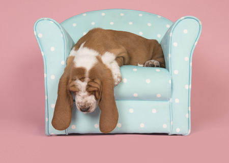 Cute tan and white basset hound puppy sleeping in a blue turquoise chair on a pink background
