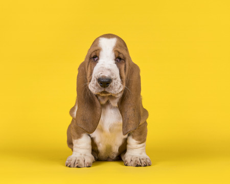 Adorable tan and white basset hound puppy dog sitting on an yellow background