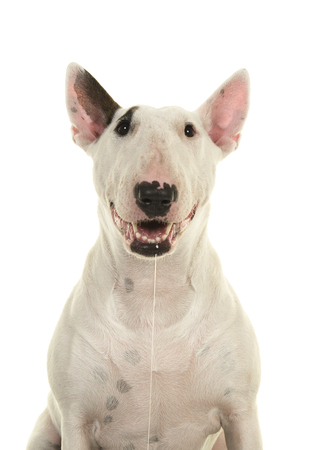 Photo pour Portrait of a cute bull terrier looking at the camera drooling and smiling seen from the front isolated on a white background - image libre de droit