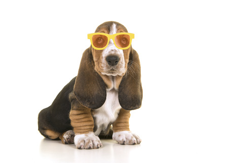 Cute sitting tricolor basset hound puppy looking at the camera isolated wearing yellow and orange sunglasses on a white background
