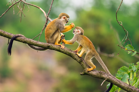 Photo pour Two common squirrel monkeys (Saimiri sciureus) playing on a tree branch - image libre de droit