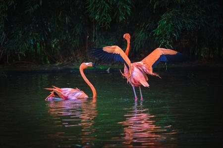 Foto de Two Caribbean Flamingos in a lake - Imagen libre de derechos