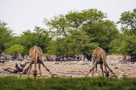 Foto de Two giraffes drink water from a waterhole in Etosha National Park - Imagen libre de derechos