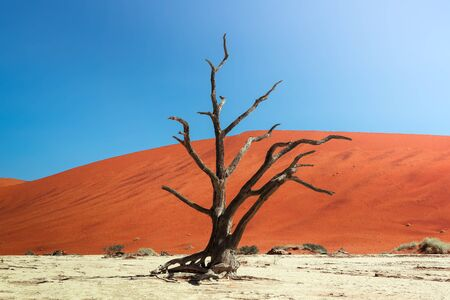 Photo for Dead camel thorn tree and the red dunes of Deadvlei in Namibia - Royalty Free Image