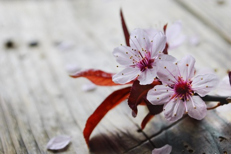 Photo for Spring blossom on rustic wooden plank - Royalty Free Image