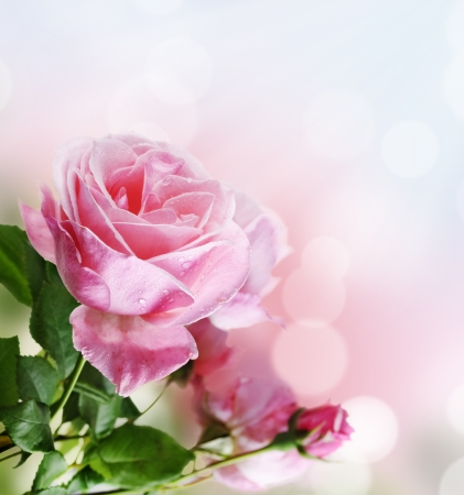 Photo for Beautiful pink rose in the garden - Royalty Free Image