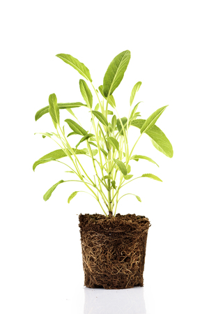 Photo pour Fresh green plant with roots visible in soil isolated over white background. Sage herbs and spices seedling in dirt. - image libre de droit