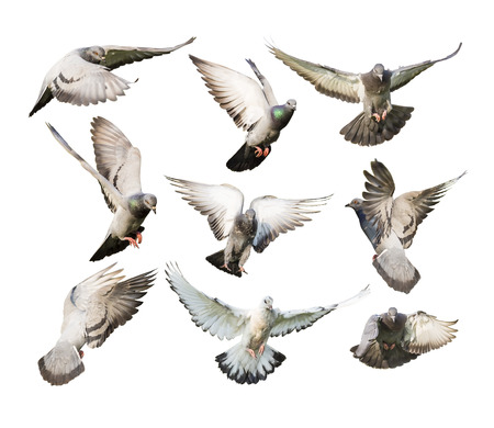 Photo for different actions of flying pigeon isolated on white - Royalty Free Image