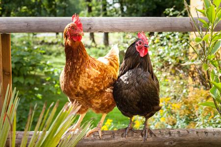 Photo pour Happy Chicken - image libre de droit