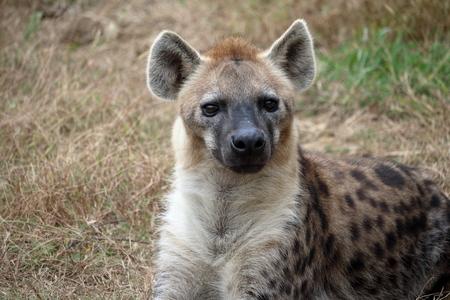 Foto de Spotted Hyena - Imagen libre de derechos