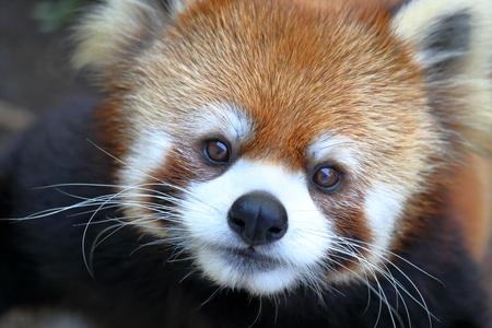 Foto per Lesser panda adorable - Immagine Royalty Free
