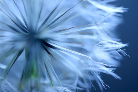 Photo for Dandelion Puffball - Royalty Free Image