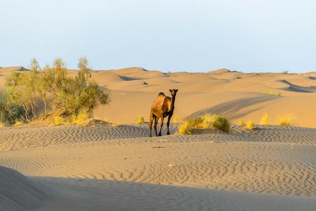 wild camel in the sand dunes of desert Dasht-e Kavir, Farahzad, Iran