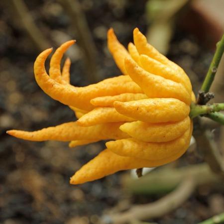 Photo pour fragrant Buddha s hand or fingered citron fruit, Citrus medica - growing in Orangery of Boboli Garden in Florence, Italy - image libre de droit