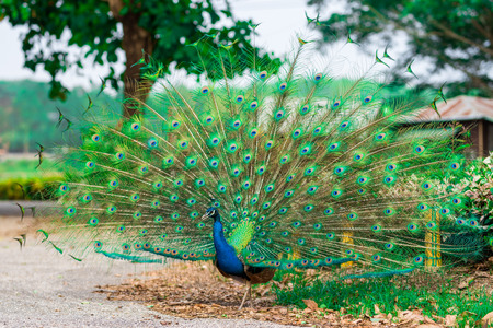 Photo for Beautiful indian peacock with fully fanned tail - Royalty Free Image