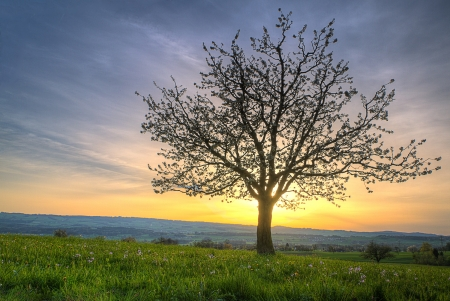 Photo for Cherry blossom  tree at sunset and green spring meadow  on a hill radiating against the sunset - Royalty Free Image