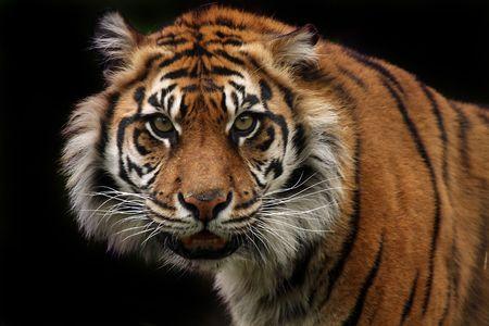 Angry Sumatran Tiger against a dark background.
