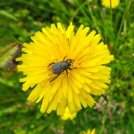 Foto de Garden Chafer On Dandelion - Imagen libre de derechos