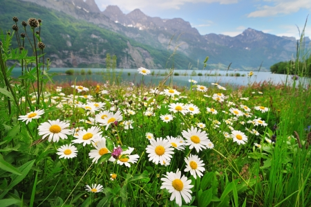 Photo pour Alpine meadow with beautiful daisy flowers near a lake in the maountais - image libre de droit