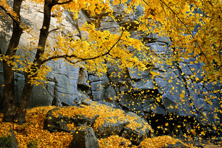 Photo pour Beautiful autumn maple tree with falling leaves surrounded by scenic rocks - image libre de droit