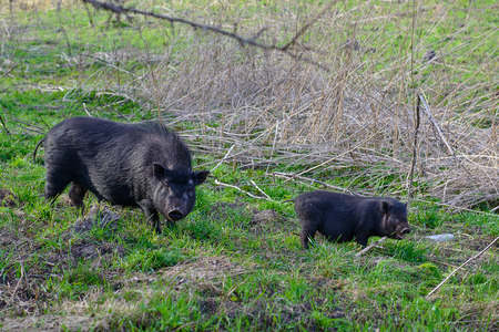 Two black wild pigs on the spring meadow. Wildlife photo.