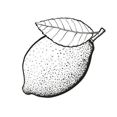 Ilustración de Hand drawn whole lemon with leaf - Imagen libre de derechos