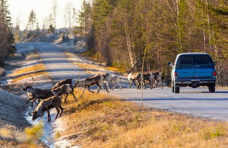 Photo pour Reindeers almost causing a collision on the road - image libre de droit