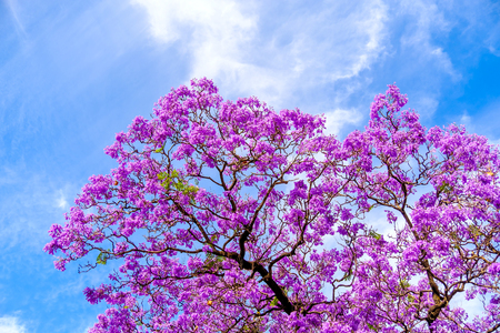 Photo for Jacaranda tree blossoms in Adelaide, South Australia - Royalty Free Image