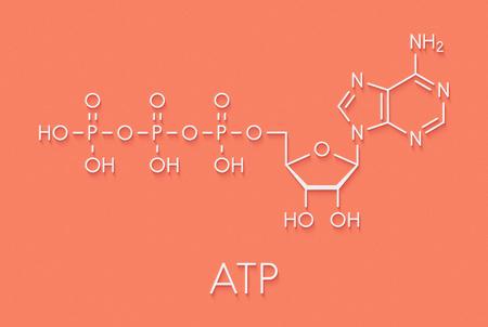 Foto de Adenosine triphosphate (ATP) molecule. Functions as neurotransmitter, RNA building block, energy transfer molecule, etc Skeletal formula. - Imagen libre de derechos