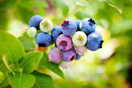 Photo for Growing blueberries in home garden - Royalty Free Image