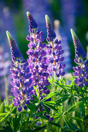 Photo pour Wildflower lupine blooming in spring - image libre de droit