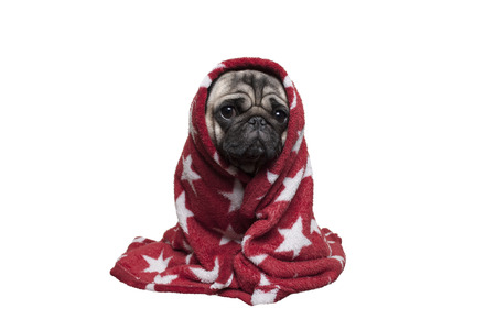 Photo pour adorable sick puppy dog, pug dog in blanket looking sad, isolated on white background - image libre de droit
