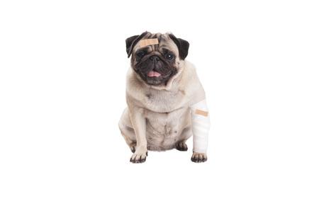 sick sitting cute pug puppy dog
