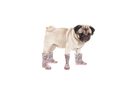 standing cute pug puppy dog ??wearing rainboots, isolated on white background