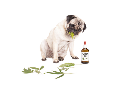Photo pour cute pug puppy pet dog eating weed, Cannabis sativa, leaves sitting next to dropper bottle of CBD oil for animals, isolated on white background - image libre de droit