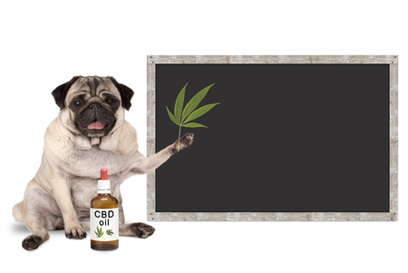Foto de smiling pug puppy dog with bottle of CBD oil and hemp leaf, with blank blackboard sign, isolated on white background - Imagen libre de derechos