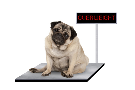 Photo pour heavy fat pug puppy dog sitting down on vet scale with overweight LED sign, isolated on white background - image libre de droit