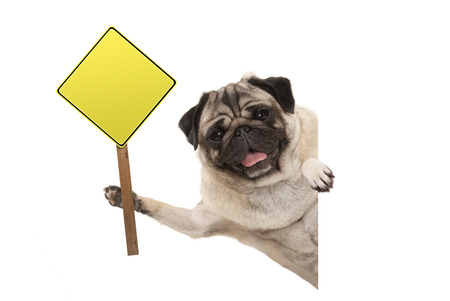 Photo for smiling pug puppy dog holding up blank yellow warning, attention sign, isolated on white background - Royalty Free Image