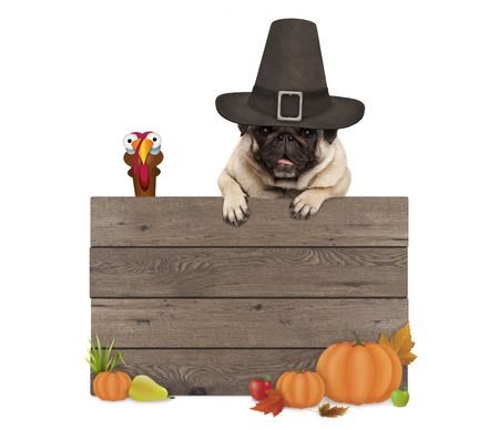 Foto de funny pug dog wearing pilgrim hat for Thanksgiving day, with blank wooden sign and turkey, isolated on white background - Imagen libre de derechos