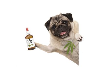 Photo pour cute smiling pug puppy dog holding up bottle of CBD oil and marijuana hemp leaf, isolated on white background - image libre de droit