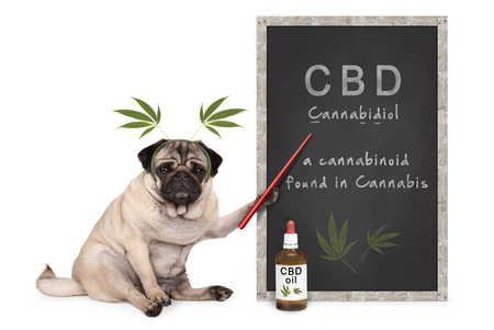 Foto de pug puppy dog with hemp leaves diadem pointing at blackboard with text CBD and dropper bottle with oil, isolated on white background - Imagen libre de derechos