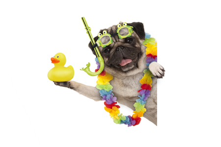 Photo for funny summer pug dog with hawaiian flower garland, snorkel and goggles, holding up yellow rubber ducky, isolated on white background - Royalty Free Image